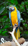 Macaw. A macaw perched on a tree branch Stock Image