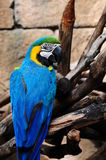 Macaw imagens de stock royalty free