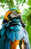 Macaw. A portrait of macaw cleaning its feathers Stock Photo