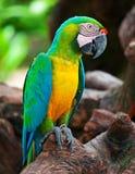 Macaw Fotos de archivo libres de regalías