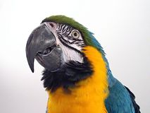 Macaw 2 de bleu et d'or Images libres de droits