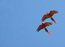 Macaw. Scarlet Macaws Flying Against A Pure Blue Sky Royalty Free Stock Photos