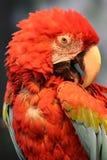 Macaw Imagens de Stock