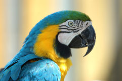 Macaw. A close-up view of a colorful macaw stock image