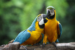 Macaw. Color blue and yellow Royalty Free Stock Images
