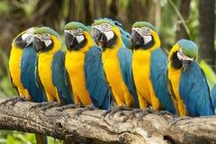 Macaw Fotografie Stock