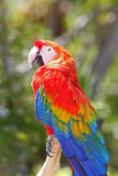 Macaw Photographie stock