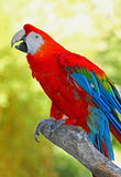 Macaw Photo stock
