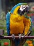 Macaw Стоковая Фотография RF