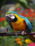 Macaw Stockfotografie