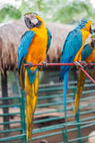 Macaw. Clutch on metal shaft Stock Image