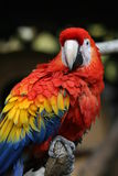 Macaw Foto de Stock