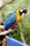 Macaw Imagen de archivo