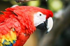 Macaw Στοκ Φωτογραφίες