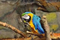 Macaw Imagen de archivo libre de regalías