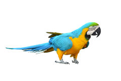 Macaw. Blue-and-yellow Macaw on white background stock image