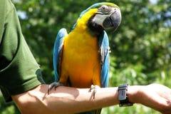 macaw Arkivbild