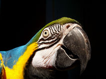 Macaw. Photo of a blue & gold macaw Royalty Free Stock Photos