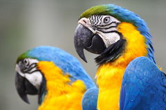 Free Macaw Royalty Free Stock Photos - 4682688