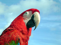 Macaw. A portrait of a blue and red macaw before a blue sky royalty free stock photo