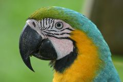 Macaw. (Ara) in Oriente, Ecuador Royalty Free Stock Photography