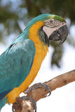 Macaw. Blue and yellow Macaw royalty free stock image