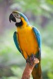 macaw Στοκ εικόνα με δικαίωμα ελεύθερης χρήσης