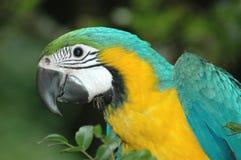 Παπαγάλος Macaw Στοκ εικόνα με δικαίωμα ελεύθερης χρήσης
