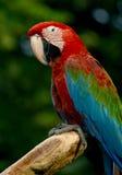 macaw Royalty-vrije Stock Afbeelding