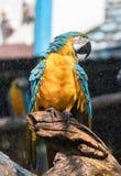 macaw Arkivfoto
