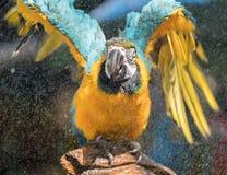 macaw Royaltyfri Foto