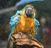 macaw Arkivfoton