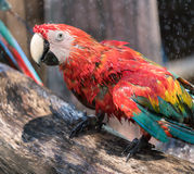 macaw Royaltyfri Bild
