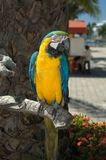 Macaw. Front view of a macaw Royalty Free Stock Image