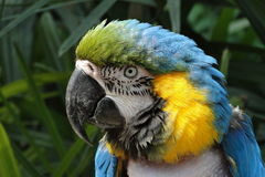 macaw Royaltyfria Bilder