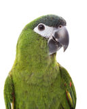 macaw κόκκινο που επωμίζεται Στοκ Εικόνα
