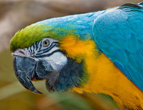 Macaw. Portrait of a blue and gold macaw Royalty Free Stock Photos