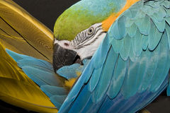 Macaw Foto de Stock Royalty Free