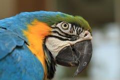 macaw Immagine Stock Libera da Diritti