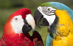 Macaw. Close-up view of colorful parrots