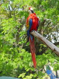 macaw Fotografia Stock Libera da Diritti