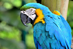 Free Macaw Royalty Free Stock Image - 92046336