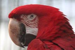 Macaw alato verde Fotografia Stock Libera da Diritti