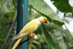 Macaw amarillo Fotografía de archivo libre de regalías