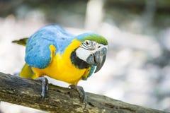 Macaw amarillo azul Imagenes de archivo