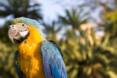 Macaw amarillo y azul en la configuración de la selva imagen de archivo