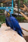 Macaw Anodorhynchus Hyacinthinus del jacinto presentado en la madera Fotografía de archivo