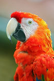 Macaw-Ara Stock Images