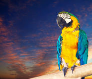 Macaw or Ara against dawn Royalty Free Stock Photography