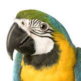 Macaw - Ara ararauna Stockbild